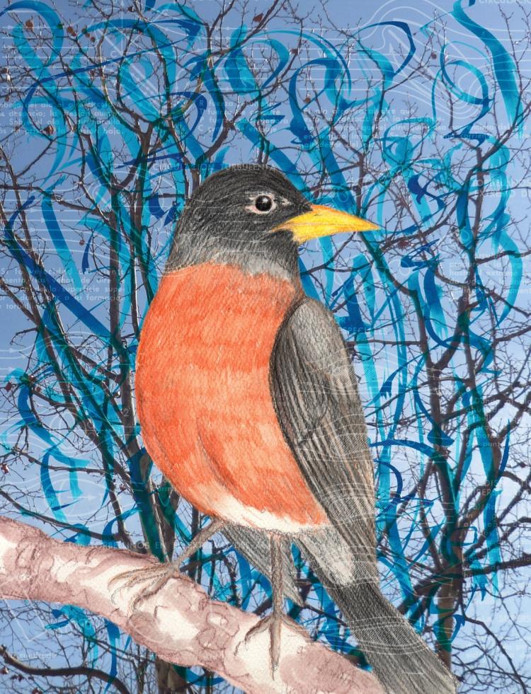 american robin illustration